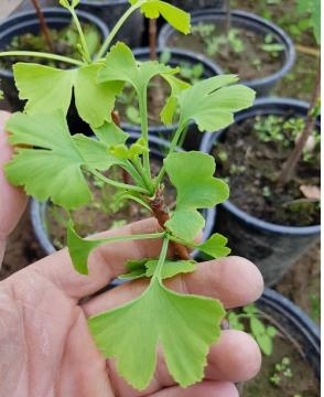 Гинкго билоба: когда нужно обрывать листья и как их сушить