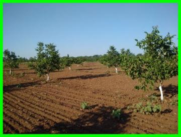 Схемы посадки ореховых садов