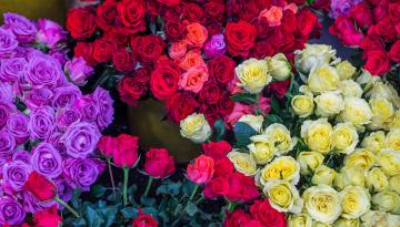 Основи по догляду за трояндами