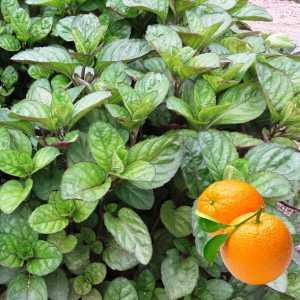 Мята апельсиновая
