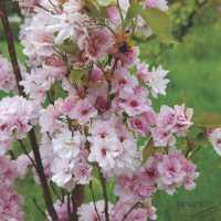 Сакура мелкопильчатая Amanogawa