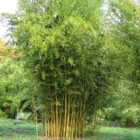 Бамбук Phyllostachys Aureosulcata (Spectabilis) горщик 4літ.