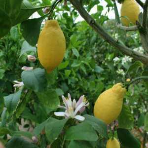 Лимон Лунарио (Citrus Limon Lunario)