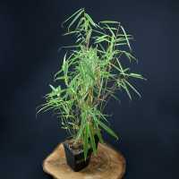 Бамбук Fargesia robusta (Campbell) горщик 4літ.