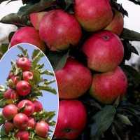 Яблоня колоновидная Арбат(средний срок созревания)