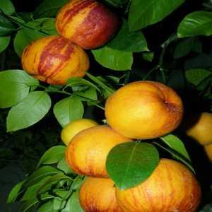 "Лимон Аркобалено (C. meyerii x c. sinensis ""doppio sanguigno"")"