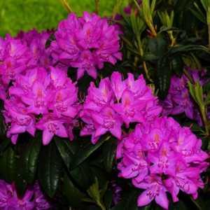Азалия японская Рододендрон Purpurtraum (Пурпуртраум)