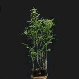 Бамбук Phyllostachys Bissetii (горшок 4лит)