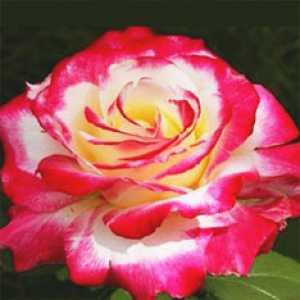 """Штамбовая роза красная """"Double delight - Двойной восторг"""""""