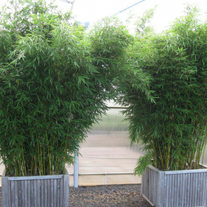 Бамбук Fargesia robusta (Campbell) горшок 4лит.