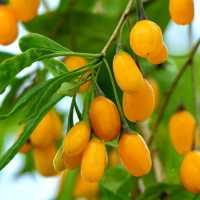 Годжі Amber sweet (жовтий Амбер світ)