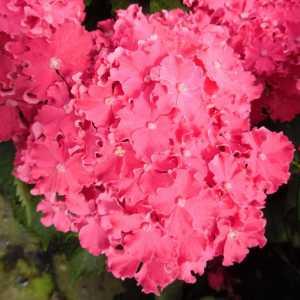 Гортензия крупнолистная  Сurly Sparkle Hot Pink