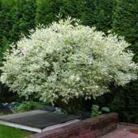 Дерен белый Elegantissima (Элегантиссима)