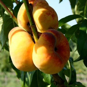 Инжирный персик Свит Багел (поздний срок созревания)