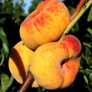 Инжирным персик Классический (средний срок созревания)