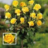 """Штамбова троянда чайно-гібридна """"Landora-Ландора"""""""