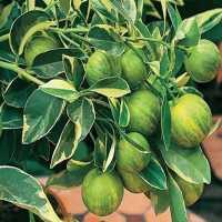 """Лимон Вариегатный (Citrus limon """"Foliis variegatis)"""