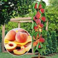 Персик колоновидний Медовий(середній термін дозрівання)