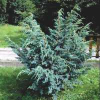 Ялівець лускатий Мейєра (Juniperus squamata Meyeri)
