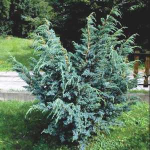 Можжевельник чешуйчатый Мейера (Juniperus squamata Meyeri)