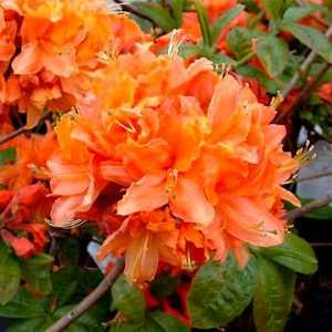 Рододендрон (Азалия) Mandarin Lights