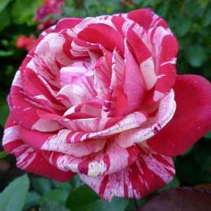 """Штамбовая роза чайно-гибридная """"Papageno - Папагено"""""""