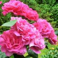 """Штамбова троянда чайно-гібридна """"Pink Peace - Пінк Піс"""""""