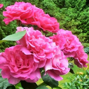 """Штамбовая роза чайно-гибридная """"Pink Peace - Пинк Пис"""""""