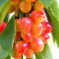 Черешня колоновидна Рожева(середній термін дозрівання)