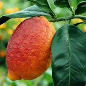 Лимон Россо (Red Limon Rosso)