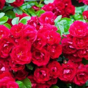 """Штамбовая роза красная """"Red fairy-Красная фея"""""""