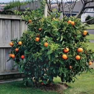 Апельсин Вашингтон Навел  (Washington navel)